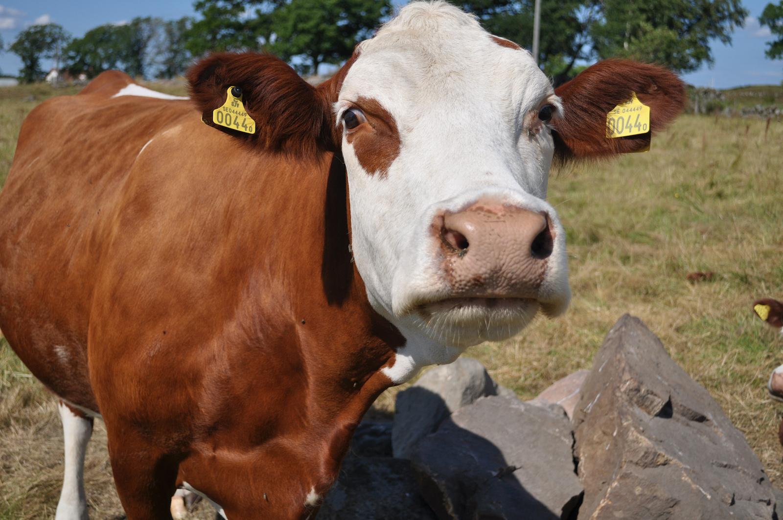 En EEUU, un desacuerdo sobre vacas puede acabar con una subida de impuestos en las motos europeas